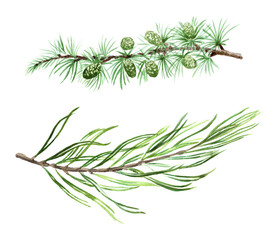 Larch (pine) and spruce watercolor branches. Pine. Botanical design elements