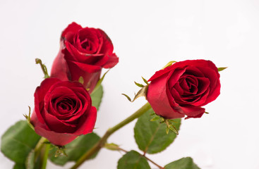 roses for your lover, valentine day