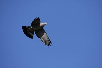Palombe ou pigeon ramier en vol.