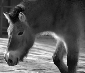 Przewalski Horse or Dzungarian Horse, is a rare and endangered subspecies of wild horse (Equus ferus) native to the steppes of central Asia, specifically China and Mongolia