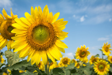 Field of blooming sunflowers on a blue sky clouds background