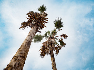 Hight sugar palm tree