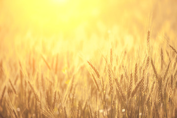 Brown Barley in field for Background