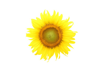 sunflower on isolated white
