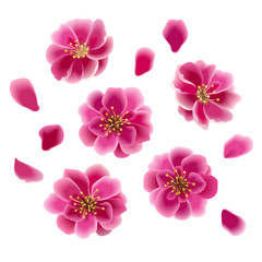 Cherry blossom. Japan sakura flowers and petals isolated on white. Spring blooming decor. Vector eps 10.