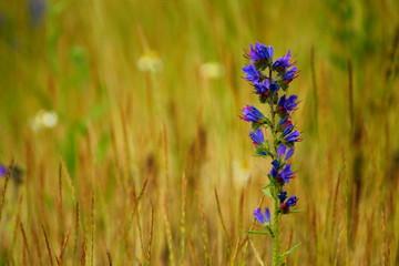 Background image with purple viper's bugloss in yellowish grass around.