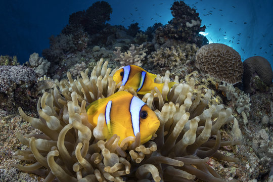 clownfish 9
