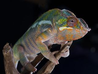 Panther Chameleon portrait