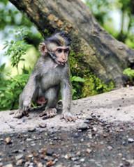 A monkey from Bali