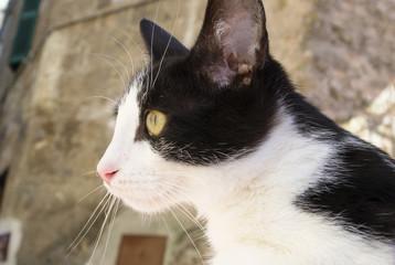 gatto Silvestro a Roma