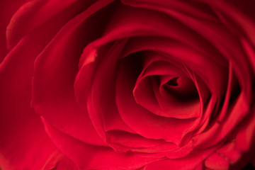 Single Red Rose Valentine