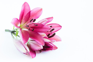 Pink lilies bunch on white background