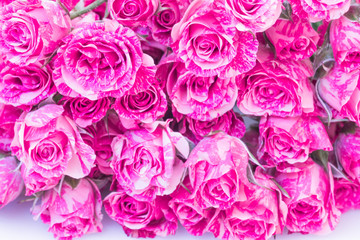 Two-Tone Pink Roses.
