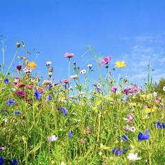 Wall Mural - Grußkarte - bunte Blumenwiese - Sommerzeit
