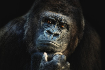 Gorilla with a thoughtful expression.