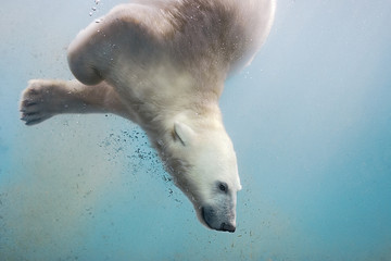 Polar bear swimming underwater.