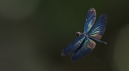 Dragonflies of Thailand ( Rhyothemis plutonia ), Dragonfly on fly