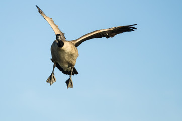 Canada Goose Making Direct Eye Contact While Flying in a Blue Sky
