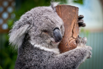 Close-up of koala sleeping on tree, Australia