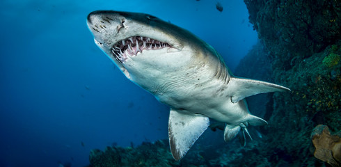 Front view of sand tiger shark, Indian Ocean