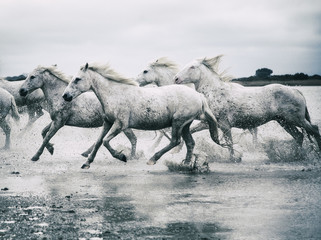 Herd of Camargue horses running through water, France