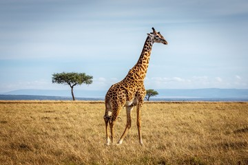 A Giraffe on the savannah in Maasai Mara National Reserve, Kenya