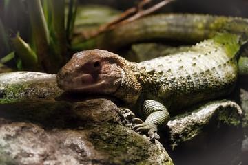 Caiman Lizard crawls on Rocks