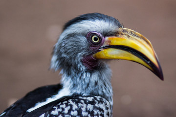 A close up of a Hornbill in South Africa