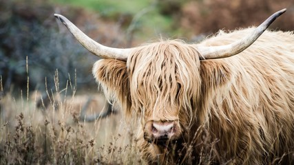 A bull in Galloway, Scotland.