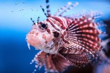 A lionfish underwater in Moscow, Russia.