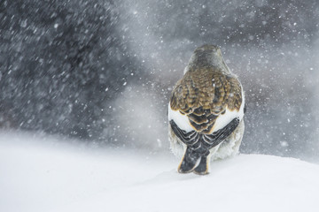 A snow finch in the snow.