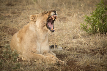 lioness roaring on game preserve, madikwe south africa