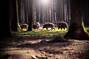 Boars in a forest.
