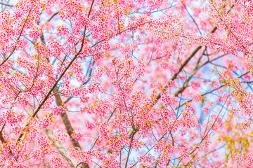 Cherry blossoms in Taiwan.