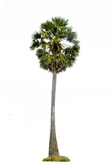 Sugar palm tree isolated on white background.Borassus flabellife