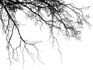 Realistic birch tree branches silhouette (Vector illustration).