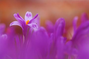 View of magic violet blooming spring flowers crocus growing  in wildlife. Beautiful macro photo of wildgrowing crocus in soft violet color