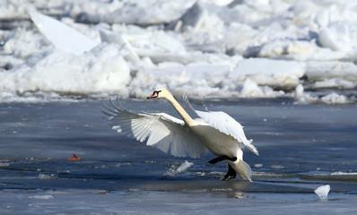 Swan landing on the ice of a frozen river Danube, in Belgrade, Zemun, Serbia.