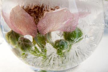 Blüte und Knospen einer Wildrose in kristallklarem Eis