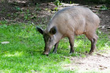 Wildschwein auf Futtersuche