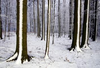 Winterwald,Buchenwald,Bäume