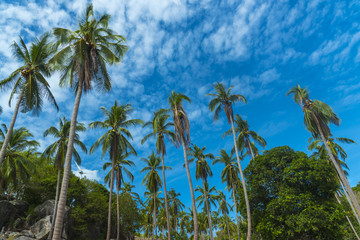 coconut with blue sky in Phuket, Thailand