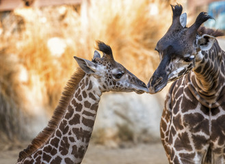 Two giraffes at zoo nuzzling