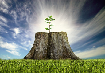 Obraz renewal, young tree growing on a tree stump - fototapety do salonu