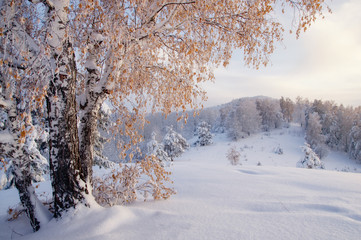 Winter sunset illuminated birch tree on the background of snow field and forest hills on top of mountain