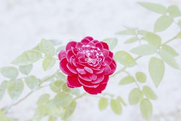 Happy Valentine the Elegant rose
