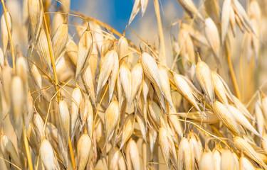 golden ear of oats against the blue sky