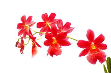 Obraz Czerwona orchidea - fototapety do salonu