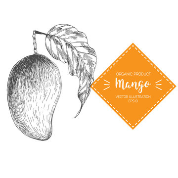 Mango vector illustration. Hand-drawn design element. A fruit drawn in vintage style