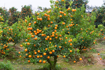 """Kumquat, the symbol of Vietnamese lunar new year. In nearly every household, crucial purchases for Tet include the peach """"hoa dao"""" and kumquat plants"""